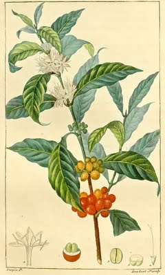 Coffee as illustrated in an early 1800s flora in the Botanics collection.